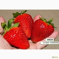 Продам рассаду/cаженцы крупноплодной клубники (Европейские сорта)