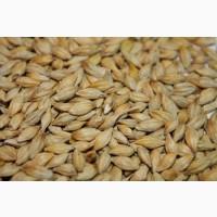 Зерно ячмень яровой оптом от производителя (Магутны, Радзимич)