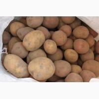 Закупаем семенной картофель