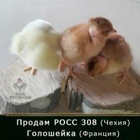 Продам цыплят бройлер РОСС 308 (Чехия) и Голошейка (Франция)
