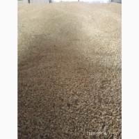 Зерно тритикале