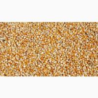 Закупаем кукурузу фуражную(сухую, сырую), пшеницу