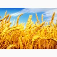 Пшеница продовольственная РФ