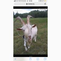 Зааненский козел