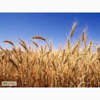 Продам семена яровых сортов пшеницы
