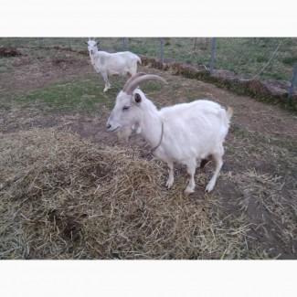 Дойные зааненские козы