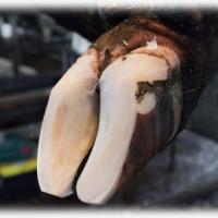 Функционально - ортопедическая обрезка и расчистка копыт крупного рогатого скота