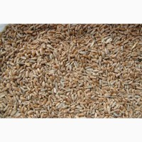 Продаю зерно фуражное