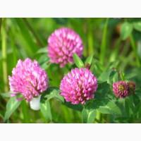 Клевер луговой (красный) (Trifolium pratense)