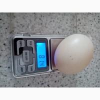 Инкубационное яйцо утки Черри - Велли