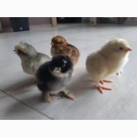 Продам цыплят кур-несушек