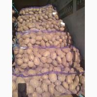 Картофель продавольственый от производителя из Беларуси