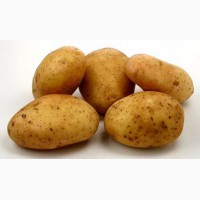 Продам картофель продовольственный сорт Бриз, Скарб