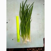 Зелёный лук перо