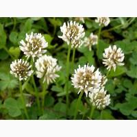 Клевер ползучий (белый) (Trifolium repens)