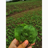Продам зелень, выращена под Минском: кинза, базилик, петрушка, рукола, шпинат, укроп