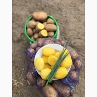 Картофель скарб, Оптом