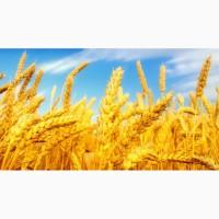 Пшеница продовольственная, 3 класс