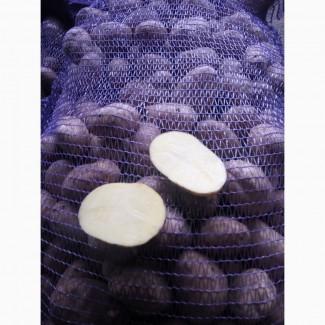 Продам продовольственный картофель сорт вектор, манифест, бриз