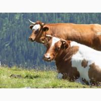Купим дорого телят, коров, быков, телят
