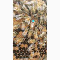 Семьи пчел бакфаст, пчелопакеты buckfast f1