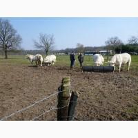 Племеная Шароле Ферма продает высококачественные племенные быки и нетели