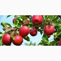 Купим яблоко 100т 1 сорт 6