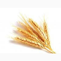 Пшеница озимая Германия, Австрия, элита