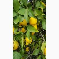 Лимоны опт