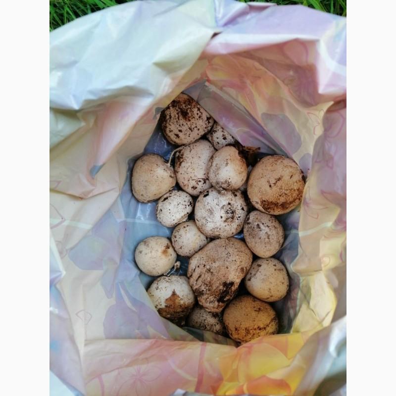 купить гриб веселка в бресте