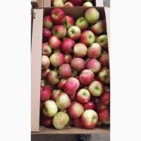 Продадим яблоки свежие (оптом)