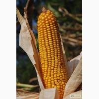 Продам Раннеспелый гибрид кукурузы