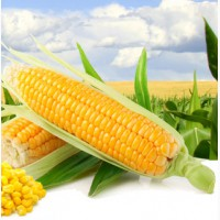 Семена гибридов кукурузы F1 Каскад 195 СВ