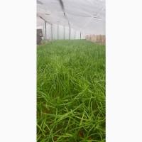 Зелёный лук (перо), сорт Амика