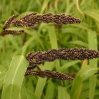 Пайза (Echinochloa frumentacea)
