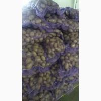 Продам картофель продовольственный сортов Скарб, Манифест