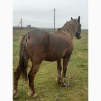 Лошадь 8 лет