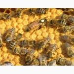 Пчелопакеты, пчелосемьи Carnica F1 и Buckfast F1