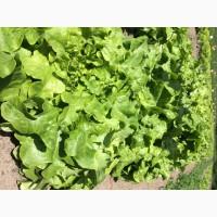 Реализуем свежий салат листовой