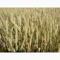 ТОВАгрофірма Колос Пропонує Насіння ярої пшениці