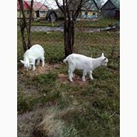 Продам породистых козликов(зааненцы)
