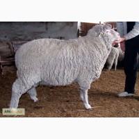 Продам овец, породы Прекос
