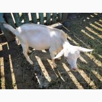 Продам козла 3, 5 месяца