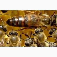 Пчеломатки Карника, плодная
