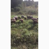 Овцы живым весом