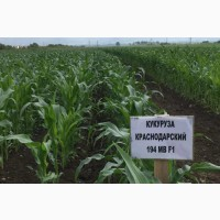 Краснодарский 194МВ, F1, РФ, урожай 2020г., в наличии, удостоверения о качестве семян