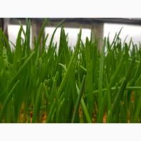 Зелень, лук зеленый укроп петрушка, редис