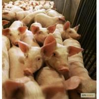 Продам свинину живым весом