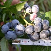 Продам ягоды голубики садовой сорта «Блюкроп»