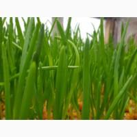 Выращу для Вас Лук зеленый, укроп, петрушка, редис